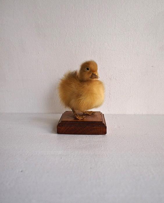 ベース付きアヒルのヒナの剥製 canard un petits