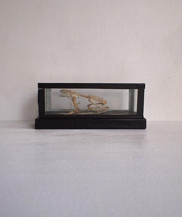 カエルの骨格標本 2
