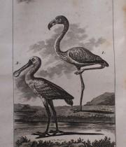 Buffon Histoire Naturelle  oiseaux tome VIII