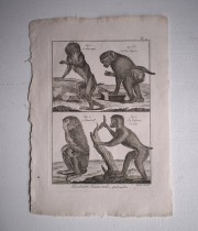 猿の博物画 12
