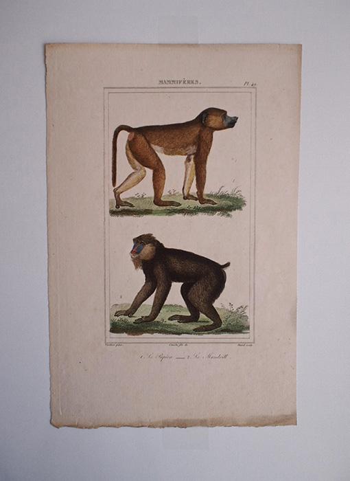 猿の博物画 6