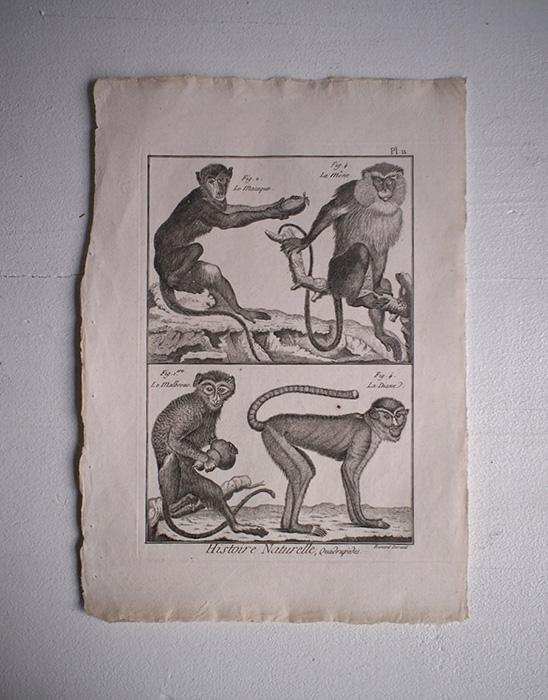 猿の博物画 13