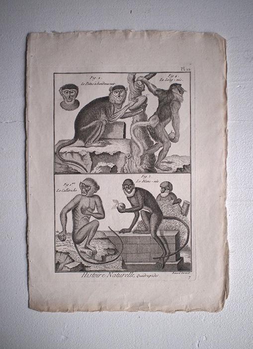 猿の博物画 14