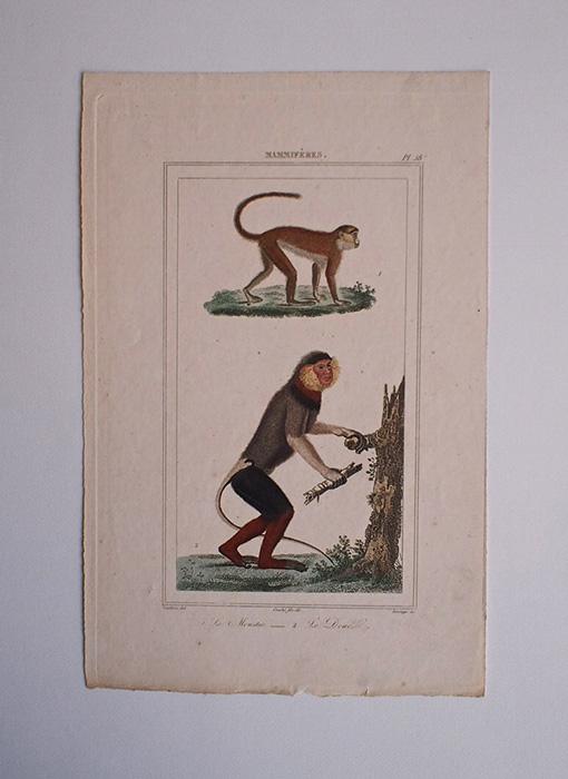 猿の博物画 11