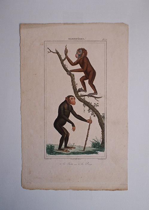 猿の博物画 8