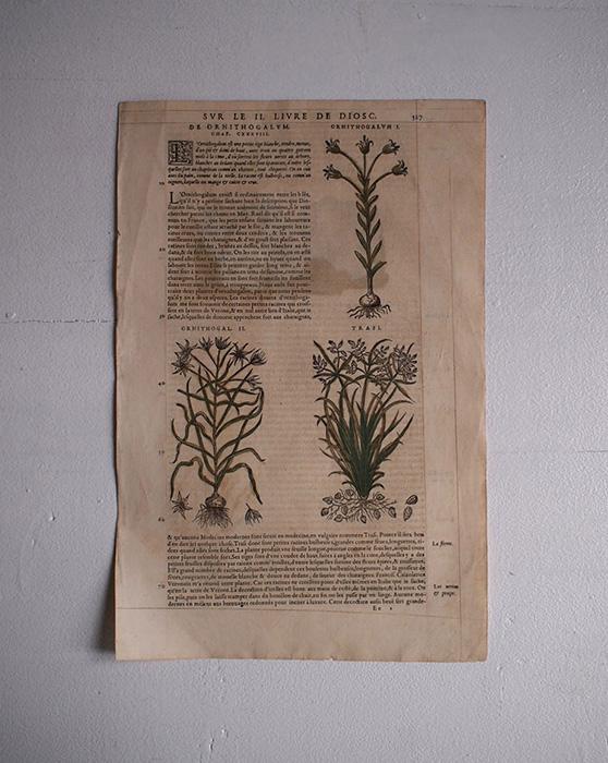 De Materia Medica 薬草の木版画 1