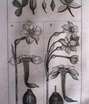 Buffon Histoire Naturelle botanique tome VII