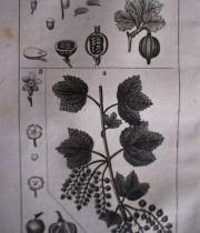 Buffon Histoire Naturelle botanique tome XIII