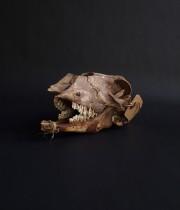Crâne de mouton