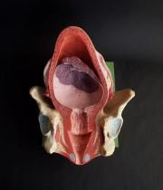 人体解剖模型 Utérus  子宮