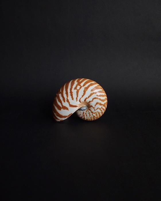 オウム貝の標本