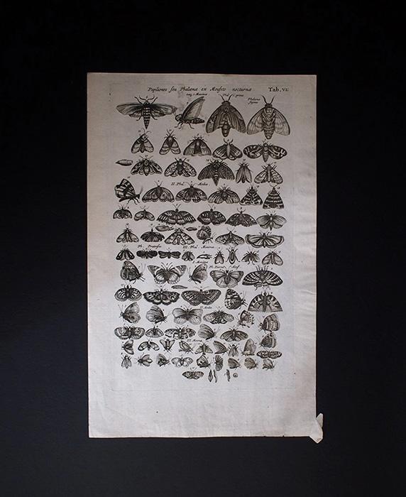 ヨンストンの図版 3 Papiliones