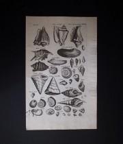 ヨンストンの図版 5 Concharum