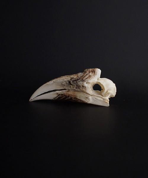 Rhinocéros Buceros 犀鳥の頭蓋骨 雌