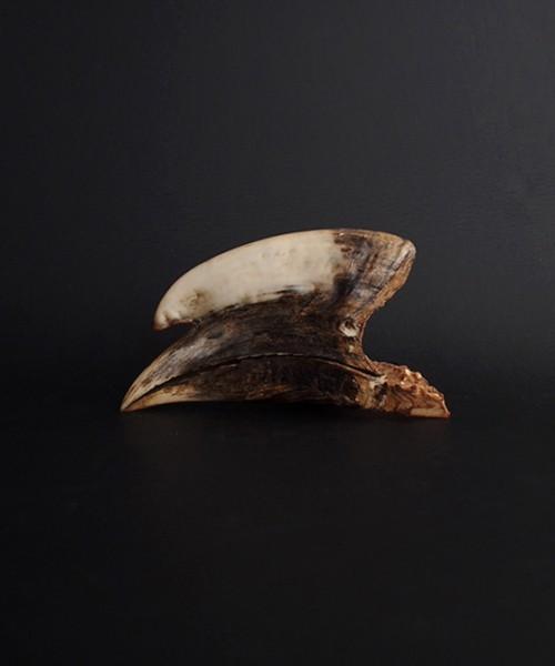 Rhinocéros Buceros 犀鳥の頭蓋骨 雄