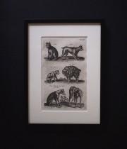 ヨンストンの図版  Canes et feles
