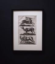 ヨンストンの図版 8  Deer