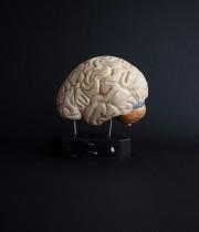 人体解剖模型 cerveau 脳 B