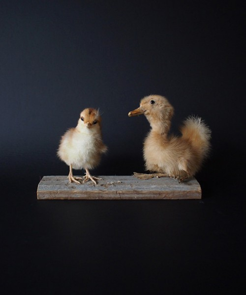 アヒルと鶏の雛の剥製