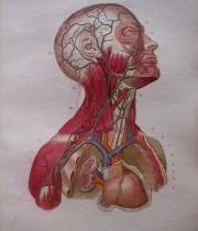 Ptetit Atlas Complet d'anatomie Descriptive du Corps Humain