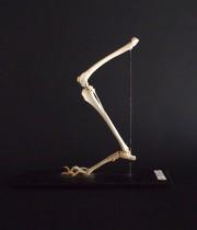 動物の足の骨の標本  CHIEN