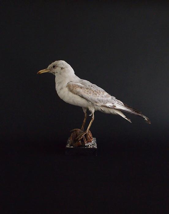 鳥の剥製 34 Mouette à queue noire B
