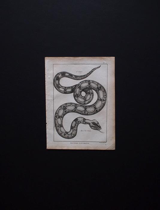 博物画 Serpent 1