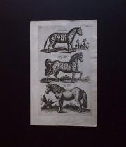ヨンストンの図版 6 Equus