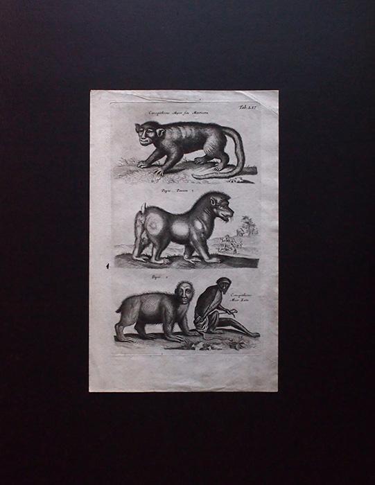 ヨンストンの図版 7 Cercopithecus