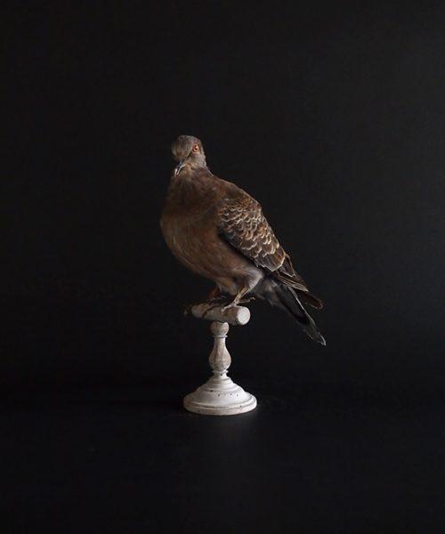 鳥の剥製 36 Tourterelle