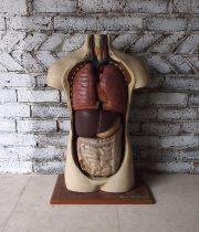 7周年記念サービス品 人体解剖模型