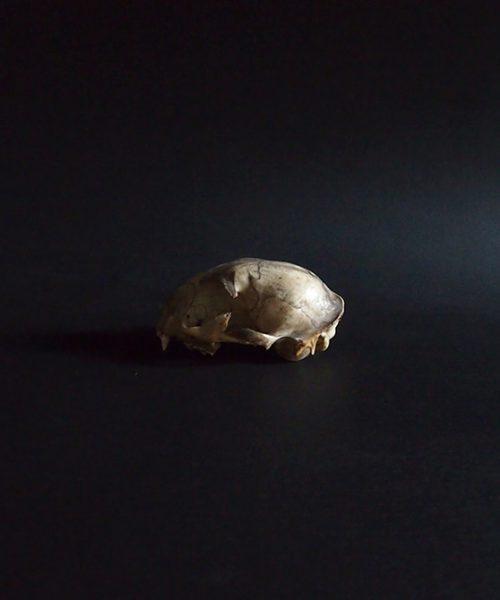 Crâne de chat 猫の頭蓋骨 2