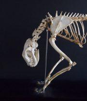 Spécimen de squelette du chat 猫の骨格標本