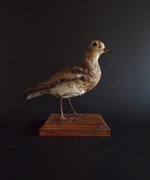 鳥の剥製 37 Pluvialis squatarola