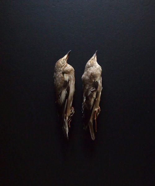 仮標本  5  Agropsar philippensis  2羽