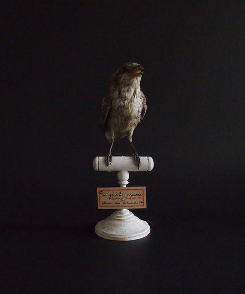 アンヴァンテール Hubert Masquefa collection 鳥の剥製 A