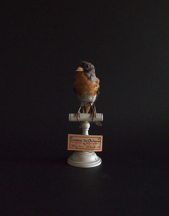 アンヴァンテール Hubert Masquefa collection 鳥の剥製 B