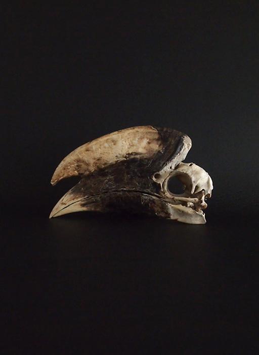 Rhinocéros Buceros 犀鳥の頭蓋骨 雄 2