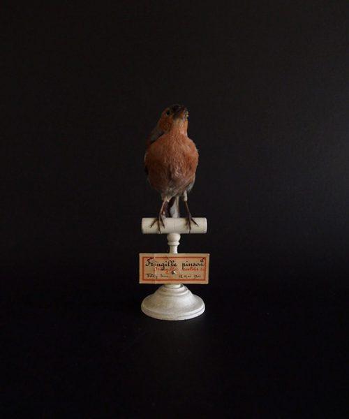 アンヴァンテール Hubert Masquefa collection 鳥の剥製  F