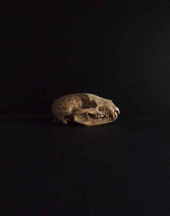 アナグマの頭蓋骨