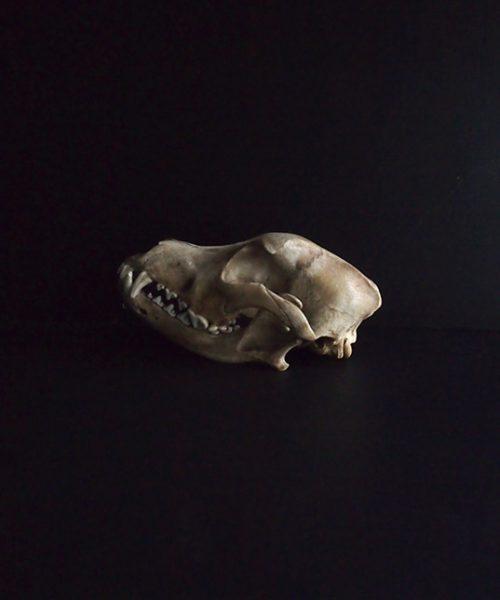 Crâne de chien 2