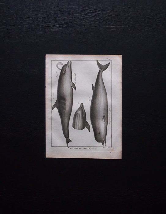 博物図版 Dauphin 1