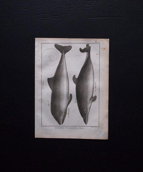博物図版 Dauphin 2