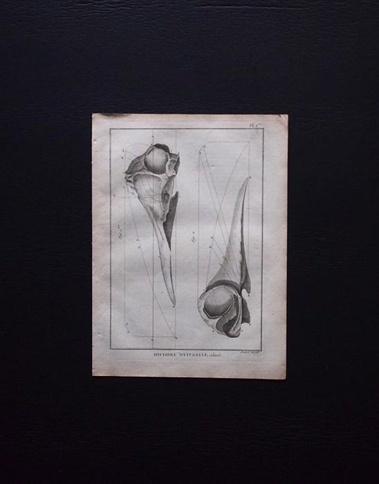 博物図版 Crâne de créature