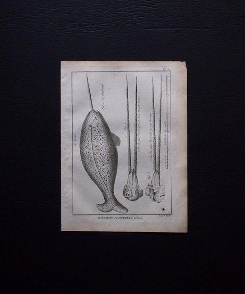 博物図版 Monodon monoceros