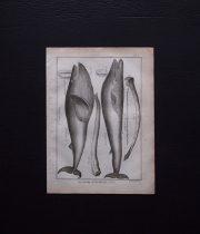 博物図版 Une baleine 1