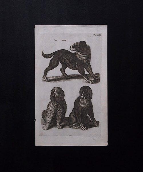 ヨンストンの図版 9 Un chien