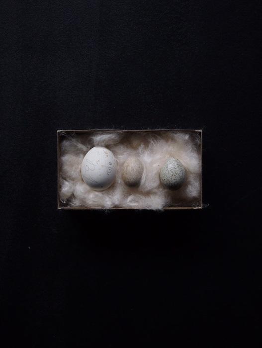 蝋引き標本箱入り卵の標本 3