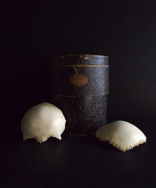 Spécimen de crâne de la Maison Tramont