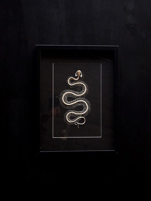 Squelette de vipère 蛇の全身骨格 2